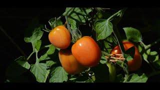 А вы знаете как получить урожай томатов в разы больше от вашей теплицы