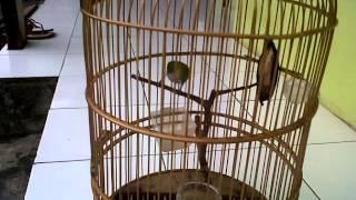 Burung pleci buxtoni bukpar (siSTONE)