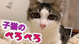 子猫のペロペロが可愛すぎた!小雪の成長日誌