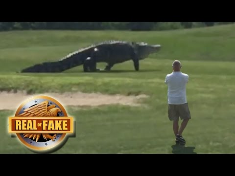 Thumbnail: GIANT ALLIGATOR ON GOLF COURSE - real or fake?