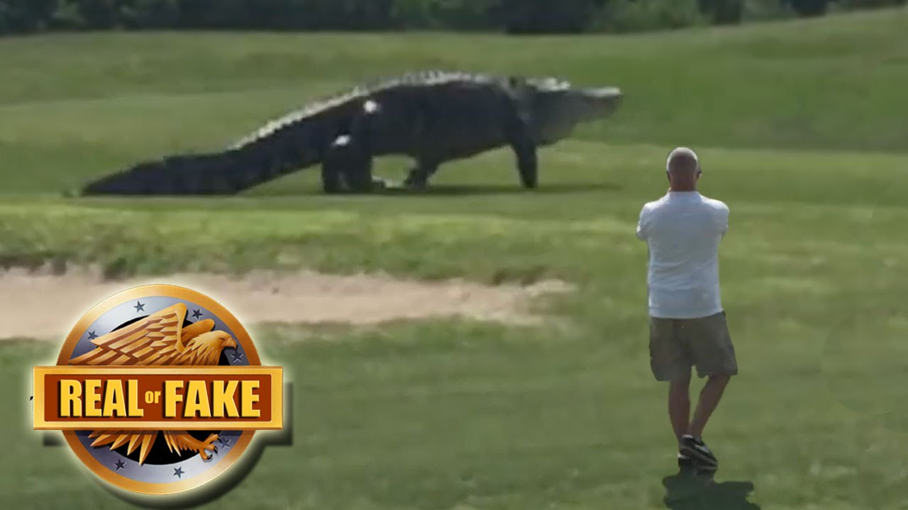 Giant Alligator On Gold Course Real Or Fake Youtube
