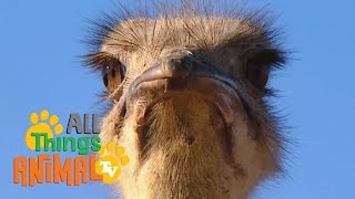 * OSTRICH * | Animals For Kids | All Things Animal TV