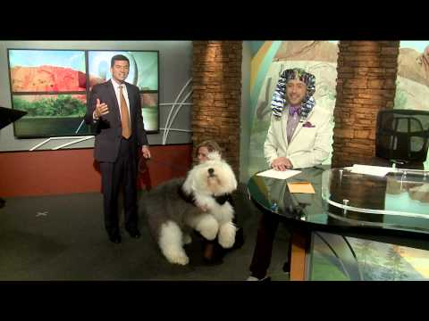 Swagger the Dog knocks over TV anchor