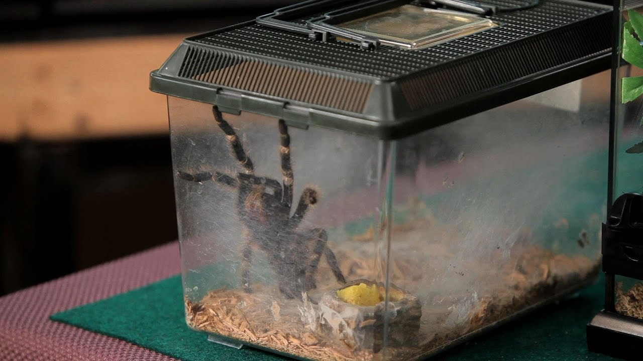 How To Clean The Terrarium Pet Tarantulas Youtube