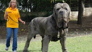 Top Biggest Dogs In The World