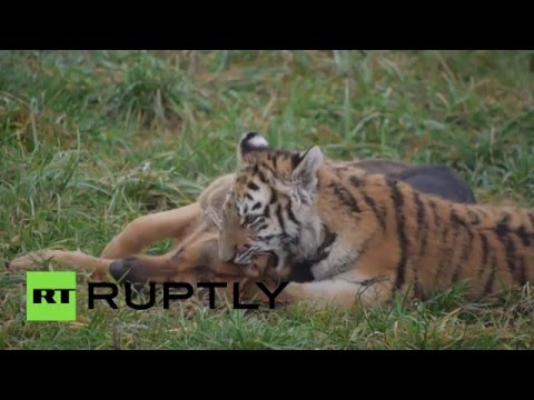 Like cats & dogs: Tigers and German Shepherds socialize in Slovakia