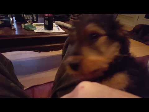 airedale-terrier-puppies-for-sale-video---s-&-s-family-airedales---lap-dog-airedale-@-10-weeks