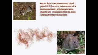 видео Дератизация - борьба с крысами