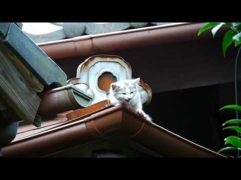 2010年4月25日生まれのエミリーの子猫です。 この他に3匹(・∀・) 他の子は自力で屋根から下りて来てたんですが、この時はこの子だけ 今、一歩踏み出せずに屋根の上(しかもお隣の(^_^;) ...