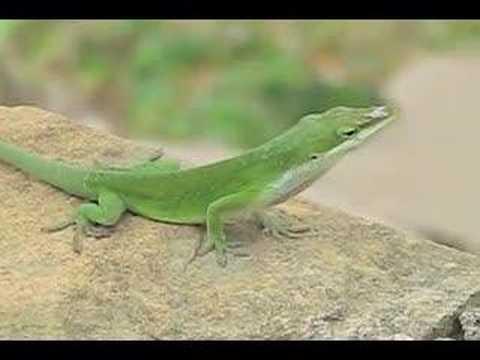 Lizard Puffing Throat