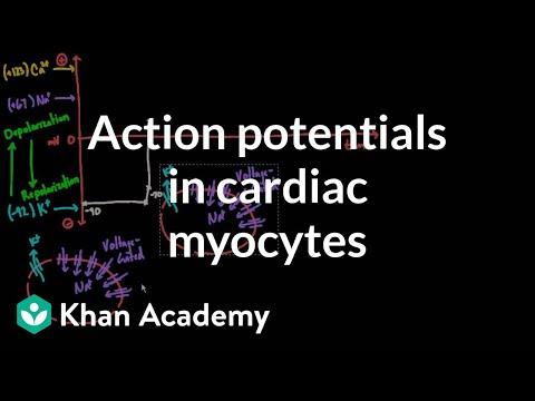 Action potentials in cardiac myocytes | Circulatory system physiology | NCLEX-RN | Khan Academy