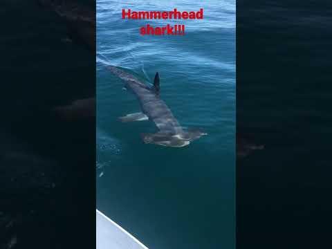 Hammer head shark near manly surf beach
