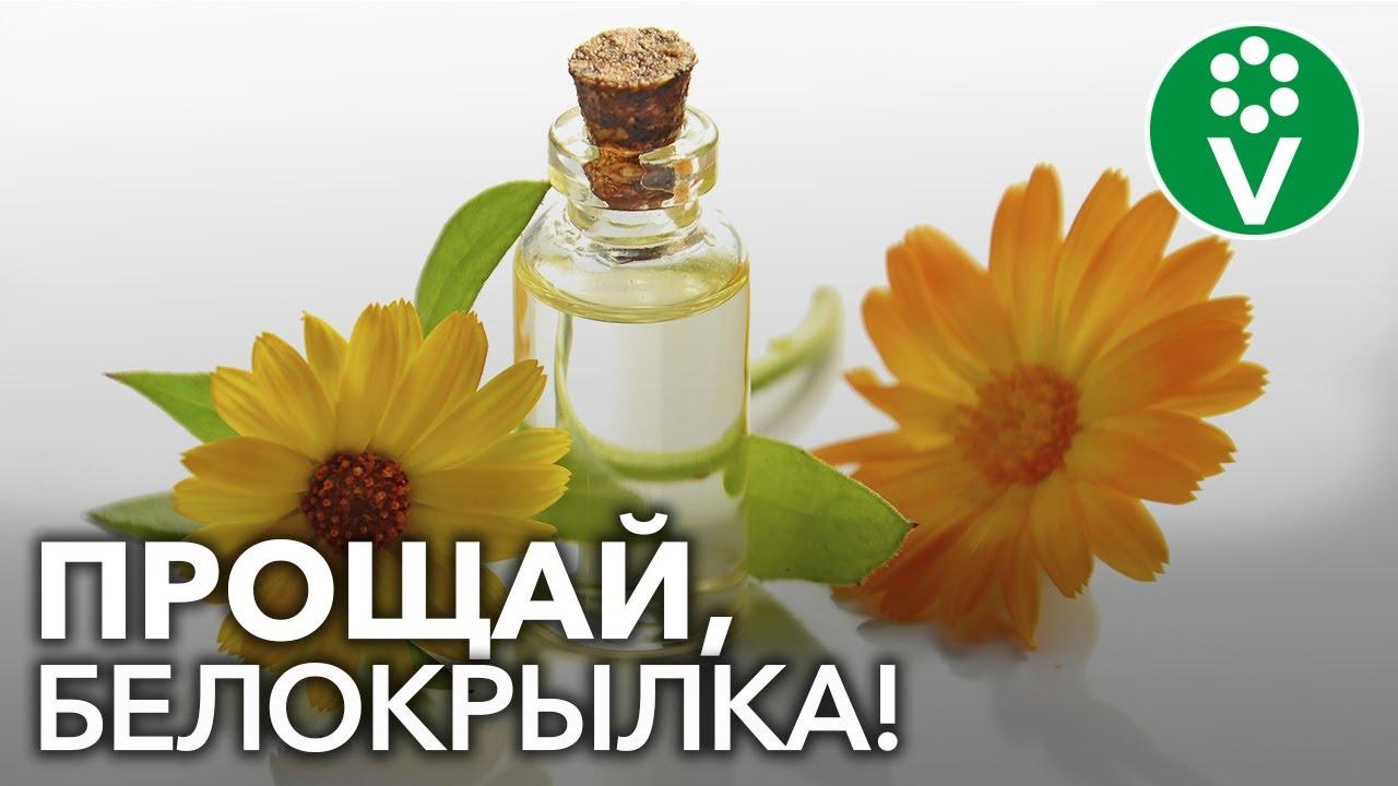МОЛОКО+КАЛЕНДУЛА = УБОЙНОЕ средство от белокрылки!