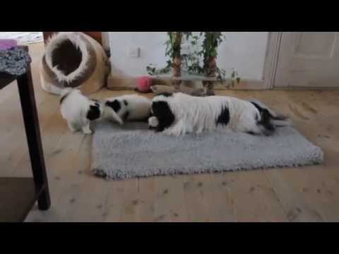 Japanese Chin Roseheaven's Keizan and puppies