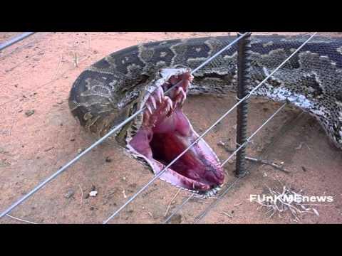 Najveća zmija na svetu!