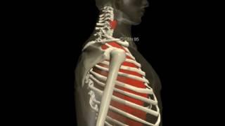 Human 3D, Дыхание,01 Вдох и выдох