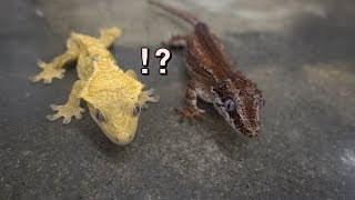 파충류 입문 초보자를 위한 영상 top3 /Beginner reptile top 3