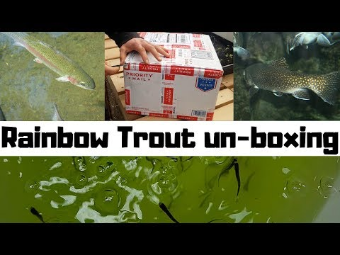 Rainbow Trout Fingerlings UN-BOXING- fish for aquaponics (hybrid aquaponic system)