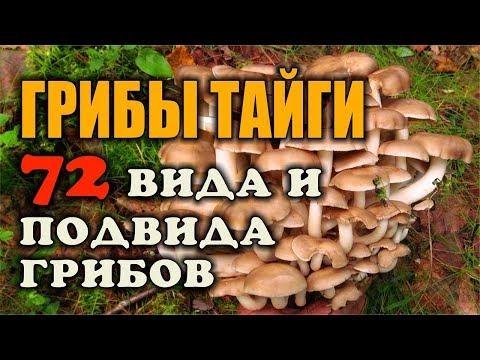 Вешенки: виды грибов и их фото