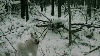 Щенки западно сибирской лайки