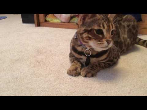 Bengal cat answers questions