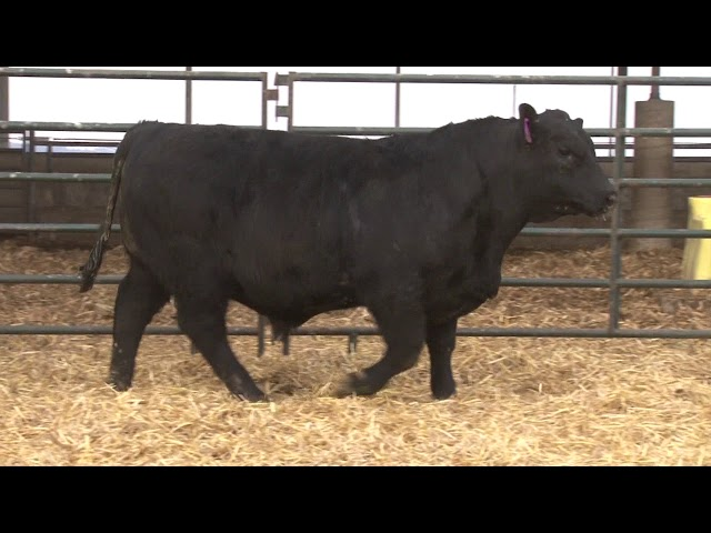 Schiefelbein Angus Farms Lot 41