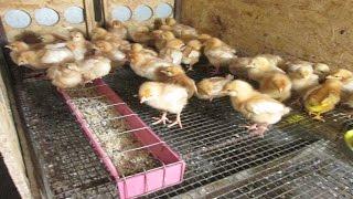 Чем кормить цыплят в первые дни жизни в домашних условиях 100шт ломан браун - zolotyeruki(Как кормить суточных цыплят в домашних условиях. На практике хорошо себя зарекомендовали корма от производ..., 2016-06-09T05:00:30.000Z)