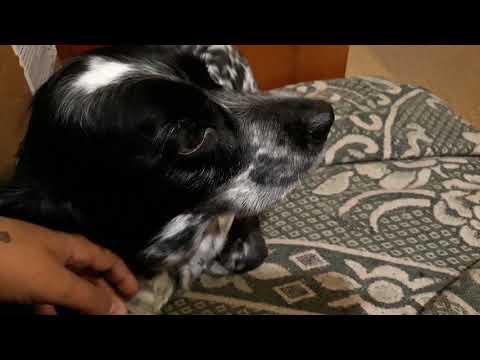 Ишемия сердца у пожилой собаки.Какое лечение? Спаниель и проблемы с сердцем. Наши собаки