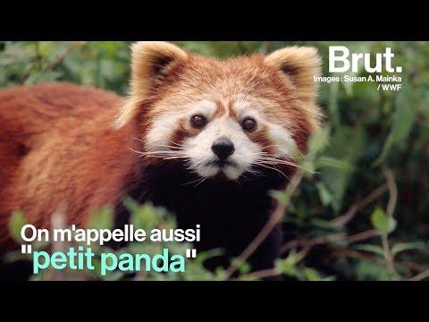 Qui est le panda roux, l'animal préféré des internets ?