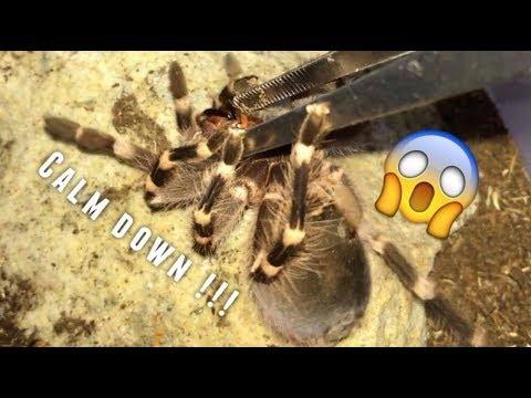 Tarantula Feeding  #17 ~ Aggressive Geniculata !!!