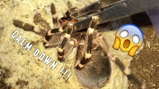 Tarantula Feeding Video #17 ~ Aggressive Geniculata !!!
