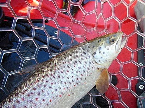 Cascadia Kayak Angler: Lacamas Lake Brown And Rainbow Trout