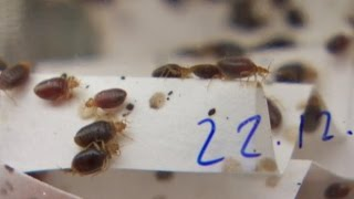 Bedbug trap invented by B.C. scientists