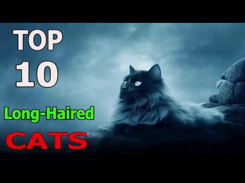 Top 10 Long - haired cat breeds | Top 10 animals