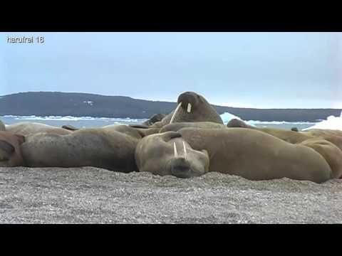harufrei: Svalbard´s/Spitzbergens walrus and ice