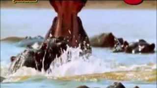 Охота на льва. Охота на гиену. Охота на гиппопотама. Африканское САФАРИ.