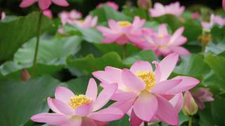 Lotus Garden 千葉県・千葉公園の大賀ハス 花の名所 花見頃 千葉観光