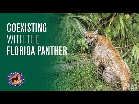 6dc805efc59 Endangered Florida Panther Caught On Video - Mossy Oak