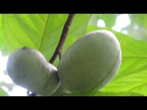 What is a Paw Paw Fruit and Why You Can't Buy Them