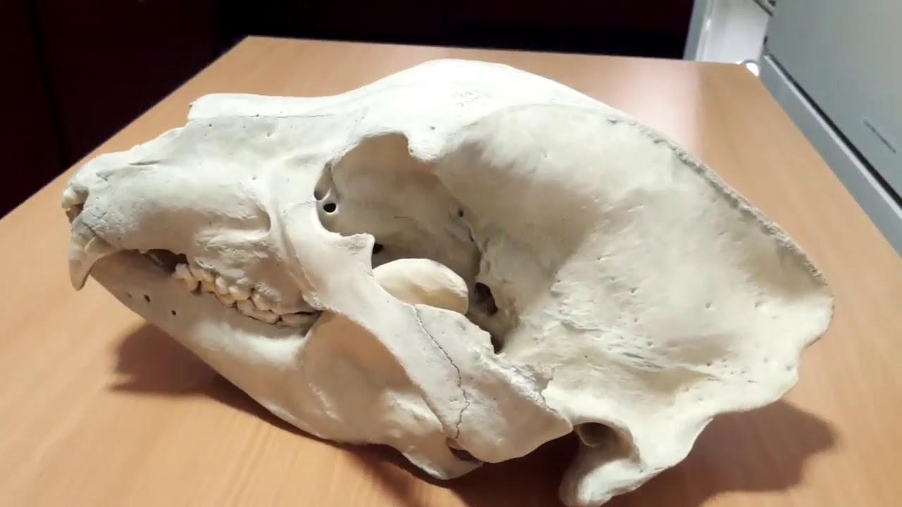 Bear Skull | Anatomy Group 8, 2018 - YouTube