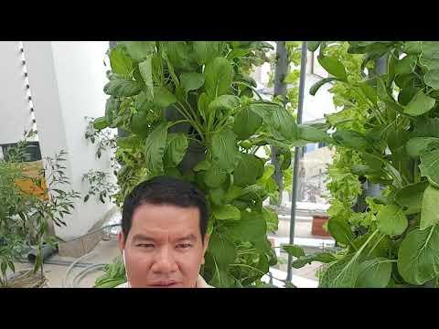 Kết quả sau 24 ngày hướng dẫn cách làm giàn thủy canh trụ đứng  trồng rau sạch tại nhà