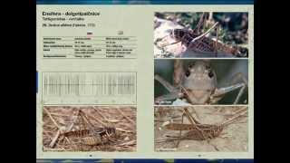 Singing Orthoptera of Slovenia