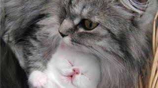 Смотреть лучшие приколы+про кошек.Супер ржака с котами!
