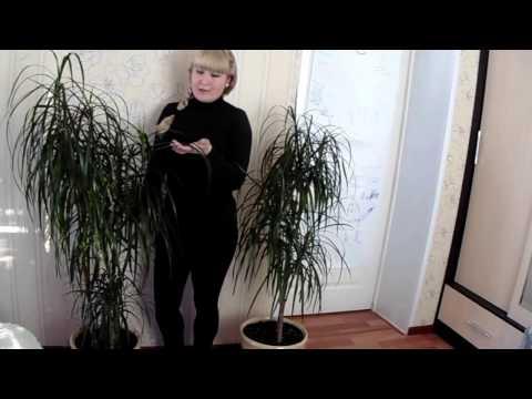 Правильный уход за драценой (маргината)🌿 Советы по выращиванию🌿