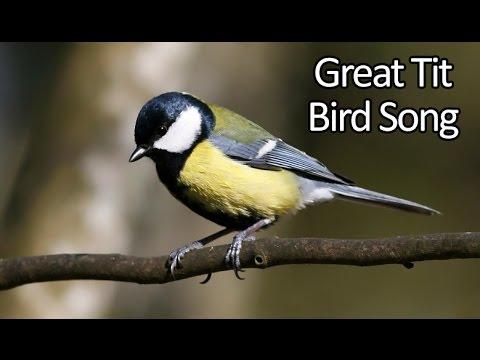 Great Tit Bird Song (Parus major) - Bird Call - Kohlmeise Ruf