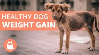 How to Put WEIGHT on a DOG ⬆️ 5 HEALTHY Tips