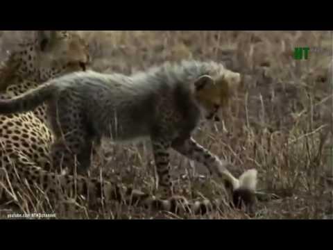 Cuộc Chiến Sinh Tồn Của Loài Báo Cheetah - Thiên nhiên hoang dã full HD Thuyết Minh
