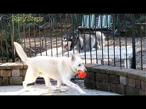 Sheru & Bruno Playing | Alaskan Malamute & German Shepherd Playing Together