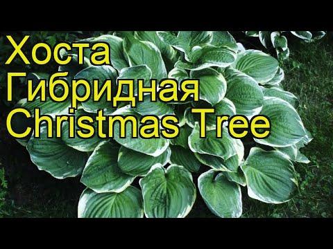 Хоста гибридная Кристмас Три. Краткий обзор, описание характеристик hosta hybridum Christmas Tree