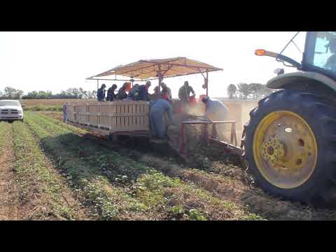 Digging Sweet Potatoes, Peebles Organic Farms.